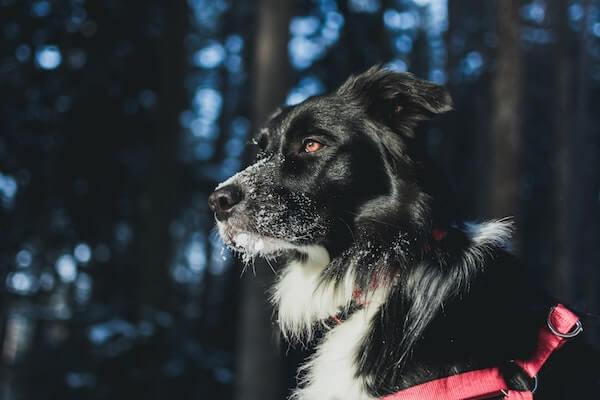 hund i sele